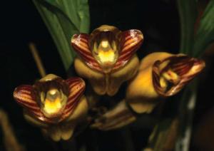 Acantheippium mantinianum