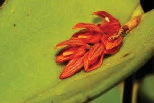Acianthera prolifera