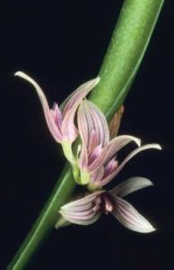 Acianthera sicaria