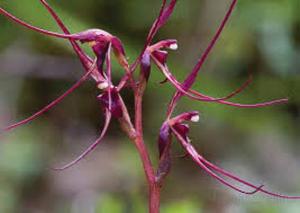 Acianthus caudatus
