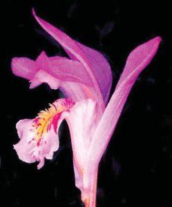 Arethusa bulbosa