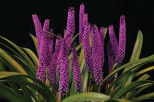 Arpophyllum giganteum