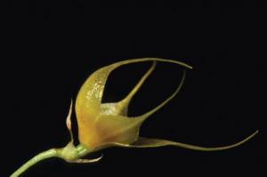 Brachionidium ballatrix