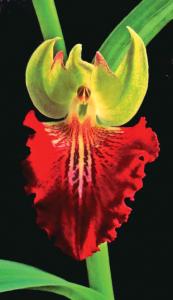 Brachycorythis helferi f. hermans