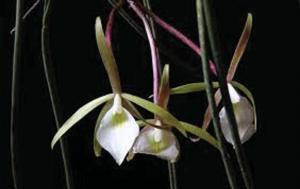 Brassavola tubeculata