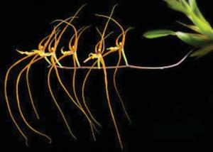 Brassia acuigera