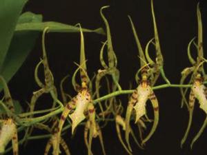 Brassia cochleata