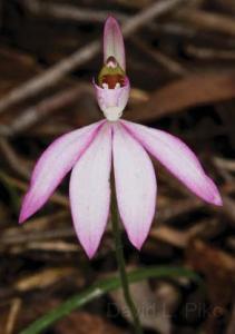 caladenia-catenata