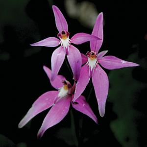 caladenia-latifolia