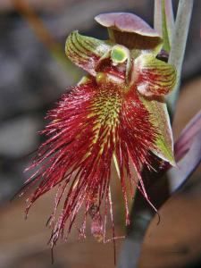 calochilus-palodosus