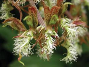 catasetum-barbatum-male-fl-ower