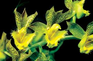 catasetum-fi-mbriatum