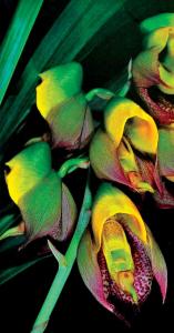 catasetum-macrocarpum-male-fl-ower