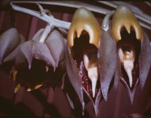 catasetum-microglossum