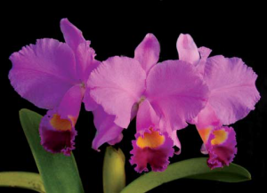 cattleya-trianae