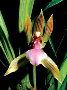 chaubardia-heteroclita