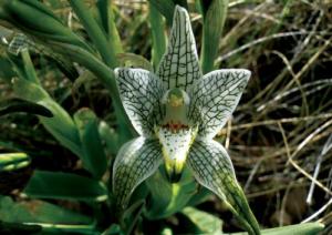chloraea-magellanica