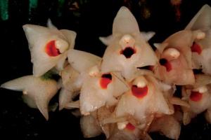 coeliopsis-hyacinthosma