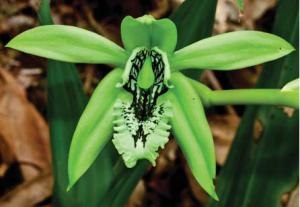 coelogyne-pandurata