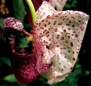 coryanthes-alborosea