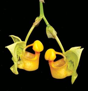 coryanthes-macrantha