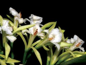 corymborkis-veratrifolia