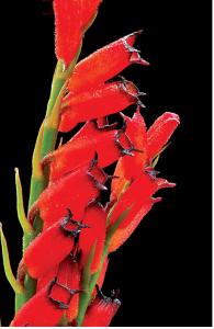 cryptochilus-sanguineus