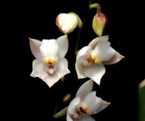 cuitlauzina-convallarioides