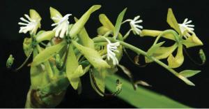 cycnoches-peruvianum