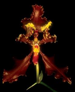 cyrtochilum-falcipetalum