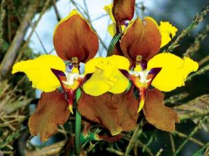 cyrtochilum-macranthum