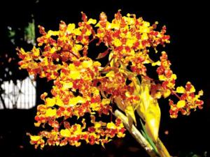 cyrtopodium-andersonii