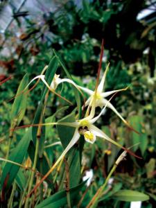 diplocaulobium-aratriferum